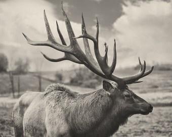 Elk Matte Tones, Elk Rack, Elk Fine Art Print, Rustic Art Print, Man Cave Gift,  Black and White Elk Print