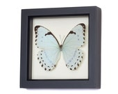 Pale Mint Morpho Butterfly Framed Butterfly Display