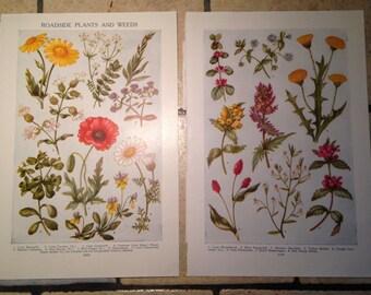 1947 Roadside Plants and Weeds Vintage Illustrations