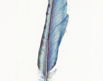 Teal blue feather drawing ~ coloured pencil