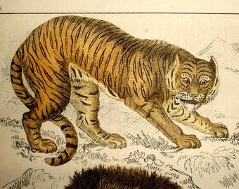 ANTIQUE TIGER PRINT, 1860's Lion,cubs,lioness,Puma,hand colored engraving,animals,brown,beige,gray,rust,vg condition,European illustrator