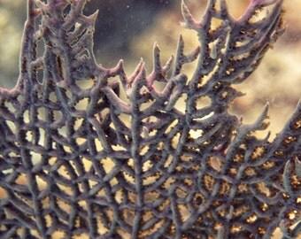 "Sea Life Photography ""Coral Fan"" Purple, Beige Nature Photograph. USVI St. John Underwater Home Decor. Wall Art. 8x10, 11x14, 16x20, 20x24"
