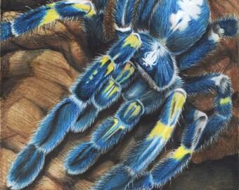Gooty Sapphire Tarantula - 8 x 10 Fine Art Print - By Laura Airey Le - P. Metallica