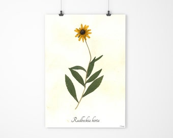 Black Eyed Susan Pressed Botanical Art - Herbarium Specimen - Real Flower Art