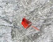 Cardinal Photography Red Cardinal in the Snow Winter Photo Prints Grey Silver White Red Wall Art Male Northern Cardinal 3x3 4x4 5x5 5x7 5x10