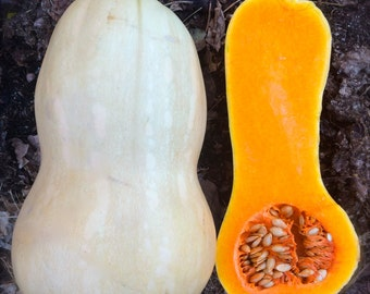 Butternut Winter Squash Best Tasting Most Popular Heirloom Variety Seeds Grown to Organic Standards Easy to Grow