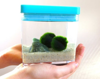 Child's Pet Marimo Terrarium: Marimo Moss Ball Acrylic Aquarium with Blue Lid - Several pebble colors available