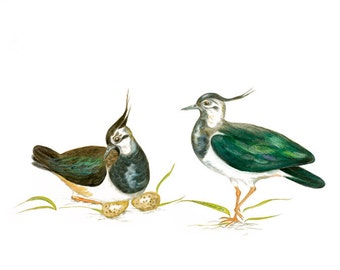 LIMITED EDITION Lapwing, Lapwings, Vanellus vanellus, Peewits, Kiebitz, Avefría Europea, Pavoncella, Bird Art, Bird Illustration, Wall Art