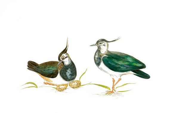 LIMITED EDITION Lapwing, Lapwings, Vanellus vanellus, Peewits, Kiebitz, Avefría Europea, Pavoncella, Bird Art, Bird Illustration, Wall Art