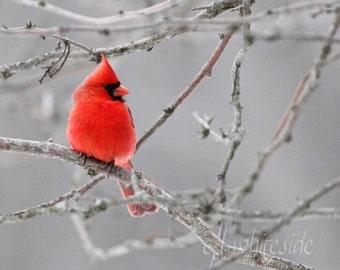 Red Cardinal Photograph, 8 x 10 Cardinal Photo,  Bird on Branches, Woodland Scene, Songbird Wall Art, Winter Bird Art, Red Grey Wall Decor
