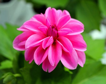 Pink Dahlia (FREE SHIPPING in the U.S.only)