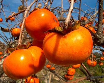 Japanese Persimmon Tree Seeds, Diospyros kaki - 25 Seeds