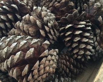 Natiral Pine tree cones