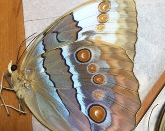 Stichophthalma louisa  The Jungle Queen  Unmounted Real Beautiful Butterfly