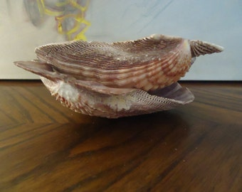Natural Pair of Lions Paw Scallop Shell . Large Seashells . Coastal Accents