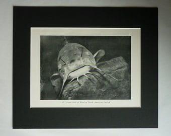 Antique Ictaluridae Print, Pet Fish Decor, Available Framed, Aquarium Art, North American Catfish Gift, Angler Wall Art, Retro Angling Art