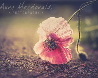 "12"" x 9"" Download,Poppy,Flower,Iceland Poppy,Poppy Image,Poppy Wall Decor,Pink Poppy,Pink Flower,Peaceful Image,Poppy Fine Art,Poppy Art"