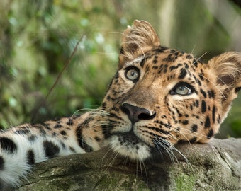 Free Shipping  Leopard Photography - Feline Photography - Cat Photography