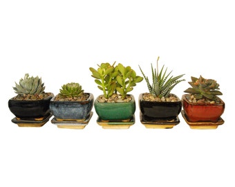 """4 Succulents Potted in Ceramic Planters Small Bonsai Plant 3.25"""" Square Container Pots With Dish Five Choices"""