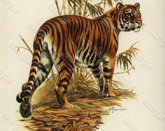Original Vintage Natural History Print From Dutch Encyclopedia Tiger -  Decorative art print Original Not a reproduction.