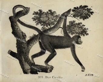 1830 Original Antique Engraving of Animal  -  Der Coaita- Monkey - Black and white