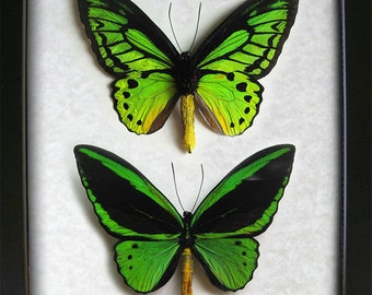 Emerald Birdwing Ornithoptera Priamus Poseidon Collection Gift In Museum Quality Shadowbox