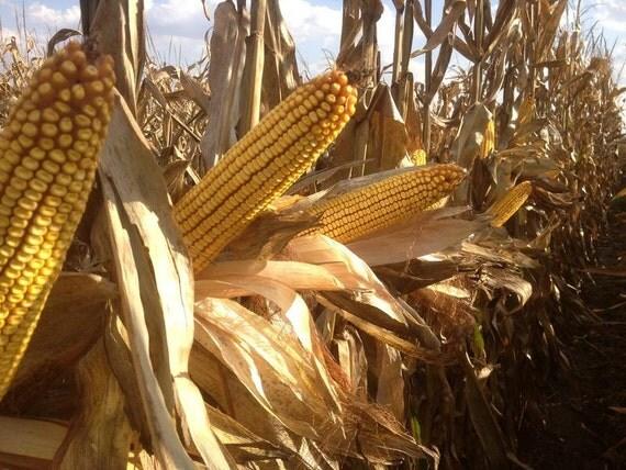 Yellow dent corn reid s yellow dent corn white dent corn or field
