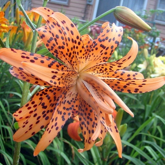Tiger lily orange bulb plant unusual double flowered - Tiger lily hair salon ...