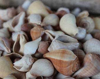 Beach Decor - 25pc Assorted Pyrula Shells - Wedding Shells - Craft Shells - Wholesale - Bulk - Supply - Jewelry