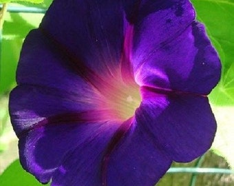 20+ Morning Glory Star of Yelta / Perennial Flower Seeds