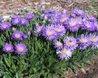 Aster-Alpinus Blue - 50 seeds