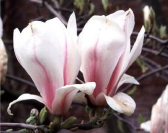 Japanese Saucer Magnolia Tree * Seeds