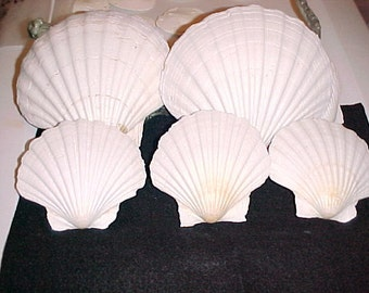 Irish Baking Scallop Seashell, Food Safe Scallop Shells, Wholesale Seashells, Craft Seashells