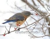 Eastern Bluebird Photo | Blue Bird | Blue Rust White Wild Life Art | Soothing Nature Decor | Thrush Living Room Design | Winter Bird Print