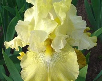 Again and Again Bearded German Iris - REBLOOMER - Top Size Root