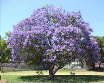 BLUE JACARANDA TREE - Jacaranda Mimosifolia
