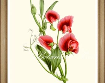 "Sweet Pea Print. #4  Botanical Print. Pink Flower Print. Sweet Pea 5x7"", 8x10"" 11x14"""