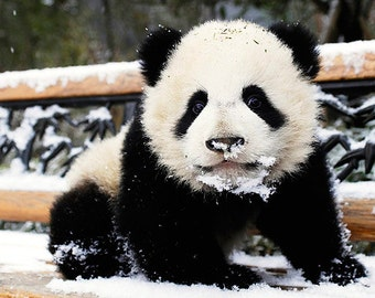 Pandas in the snow