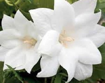 White Platycodon Double Balloon Flower Seeds/ Grandiflorus / Perennial   40+