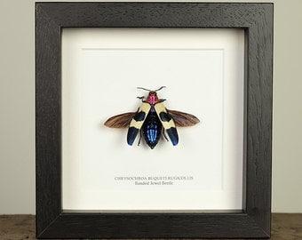 Banded Jewel Beetle in Box Frame (Chrysochroa buqueti rugicollis)