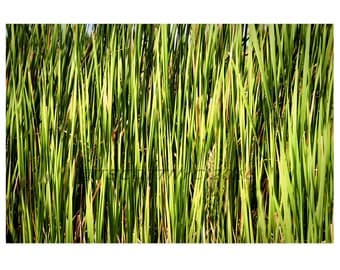 plants,Tall reed grass,instant download,green,background,photograph,landscape,stock style,design element,cat tails,nature,full frame,