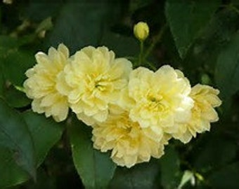 Lady Banks Rose yellow Banksian rose