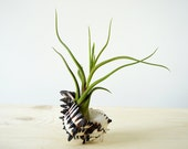 Medusea Air Plant with Seashell | GIFT Idea | Tillandsia Design | Coastal Home Decor