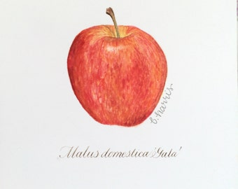 original watercolor - gala apple with calligraphy latin description
