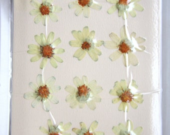 12pcs Cream/Pale Yellow Dried Pressed Zinnia Flowers for all your crafting projects.