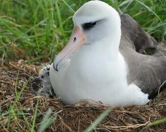 Nesting Albatross