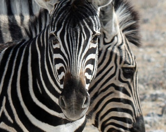 Zebra Photograph, Safari Nursery, African Animal, Nursery Decor, Kid's Room, Wall Art, Safari Baby Shower, Stripes, Black and White Stripes