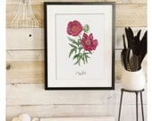 Peony Study - Botanical Scientific Illustration. Beautifully textured cotton canvas art print. Order as an 8x10 11x14 or 16x20 size. Vol.1