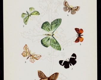 1930 Antique BUTTERFLY print, Entomology