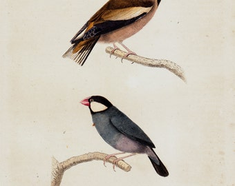 1839 Antique BIRD print of lovely songbirds, antique hand colored ornithology print, vivid colors